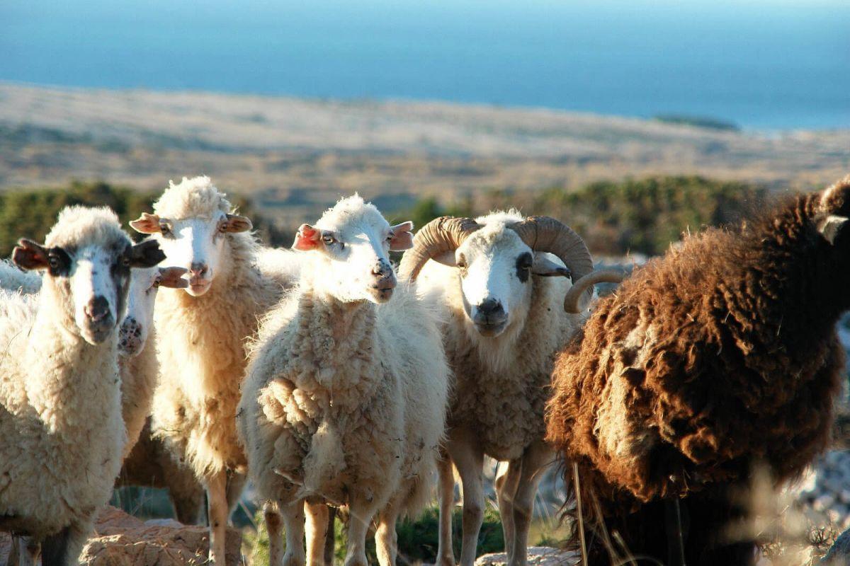 Paške ovce