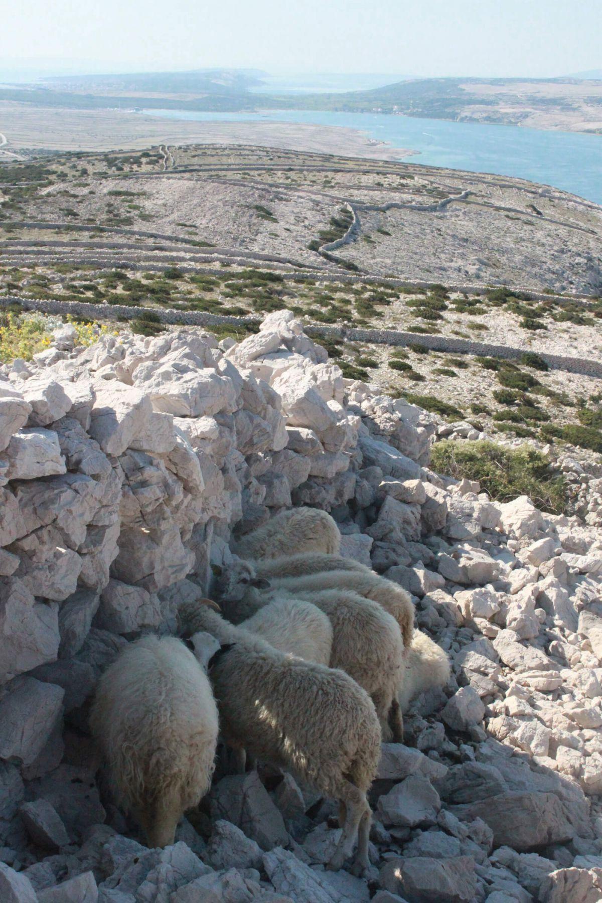 Pager Schafe und Natur