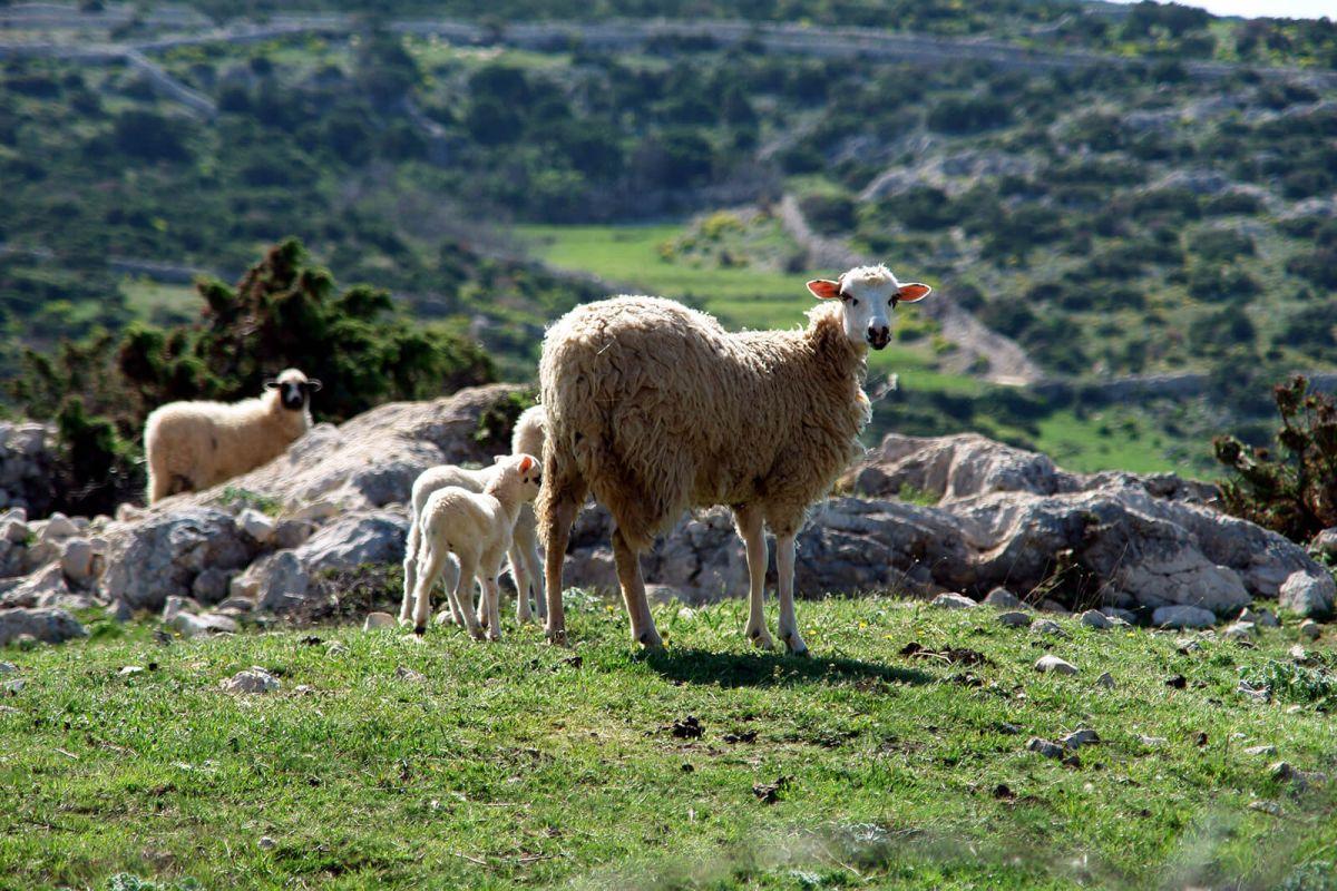 Moutons et Nature de Pag